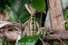 BrnBasilisk_Lizards (68)_06-07-643505017-O