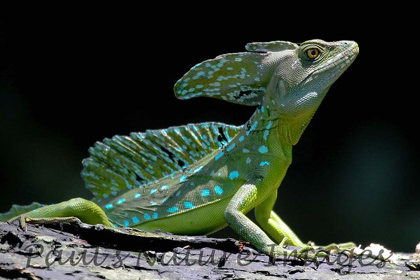 basilisk emerald (7)_CostaRica-643495893-O