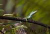 GrnAnolis CorkscrewSwampFL_7I2-1191239154-O
