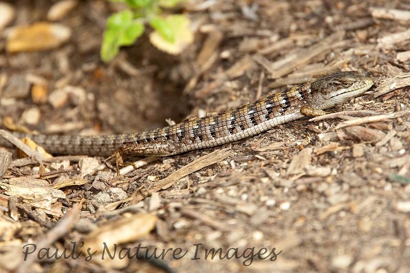 Southern AligatorLizard BotGar-871421775-O