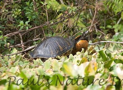 FloridaRedbelly_Turtles Corksc-1193310836-O