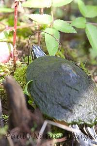 FloridaRedbelly_Turtles Corksc-1193310405-O