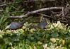 FloridaRedbelly_Turtles Corksc-1193311323-O