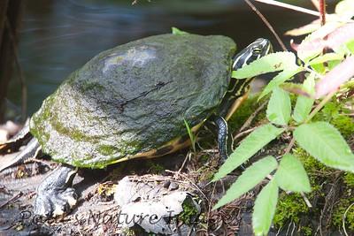 FloridaRedbelly_Turtles Corksc-1193310741-O