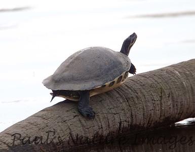 PennisulaCooter_Turtles Myakka-1193308088-O