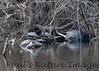 PennisulaCooter_Turtles Myakka-1193307847-O