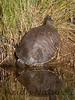 PeninsulaCooter_Turtle LakeWoo-1193307733-O
