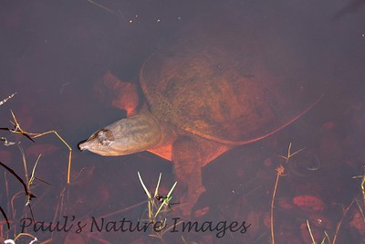 TurtleLngNose DingDarlingFL_IM-1192027683-O