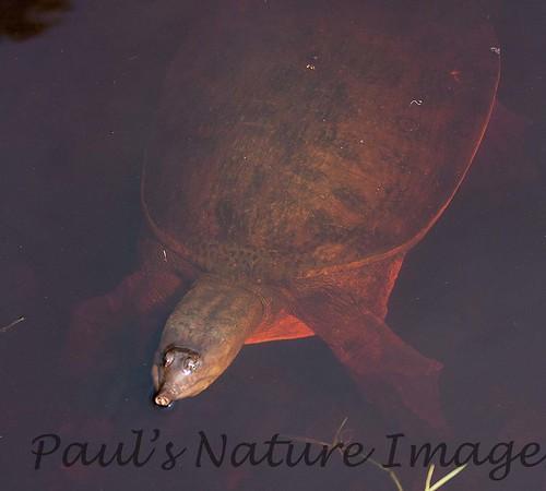 TurtleLngNose DingDarlingFL_IM-1192026684-O