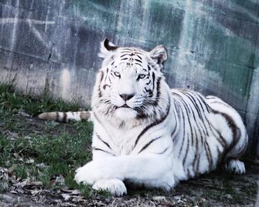 February 12, 2011 - White Tiger