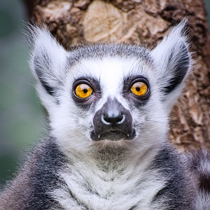 Leopold Lemur