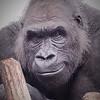 Gregor Gorilla