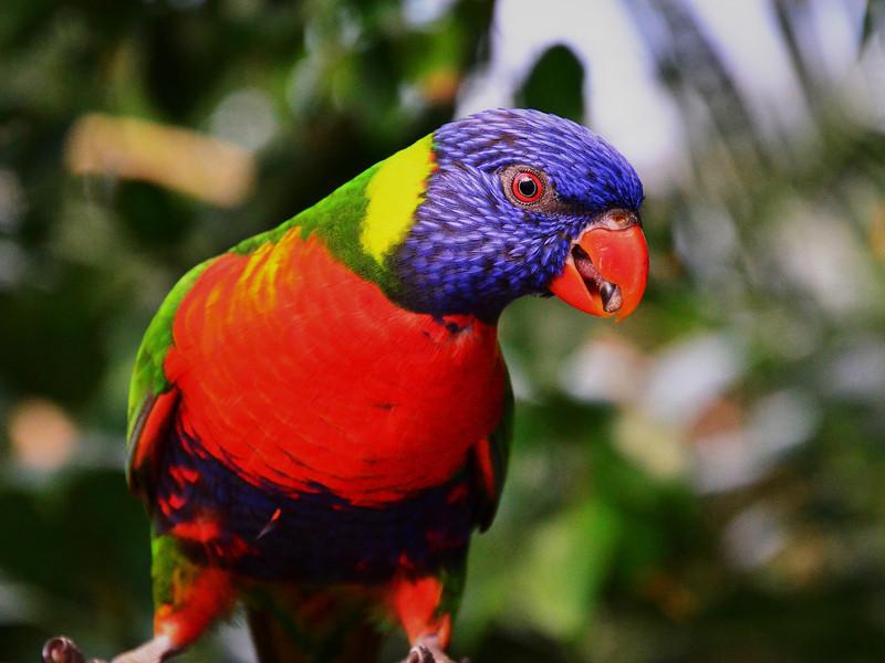 Pepe Papagei