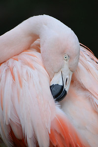 Florentina Flamingo