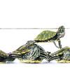 Turtle-8603