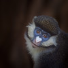 Schmidt's Red-tailed Guenon II