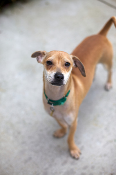 Taroh<br /> Chihuaha Mix<br /> 1 Year