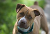 Fred<br /> Hound/Pit Bull Mix <br /> 2 Years<br /> Canine Good Citizen Certified