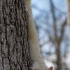 White Squirrel on Tree