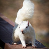 White Squirrel on Picnic Table