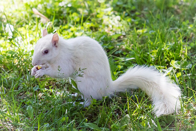 Young White Squirrel