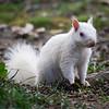 White Squirrel in Park