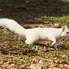 White Squirrel Walking,