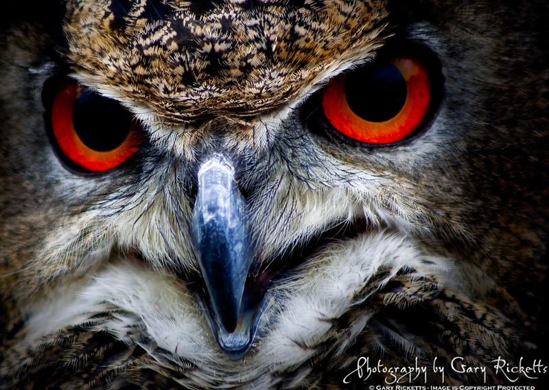 Owl Eys