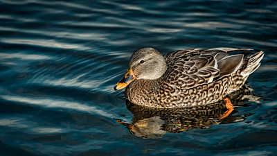 Swimming Female Mallard