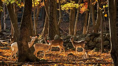 A Deer Forest