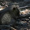 Quokka, native to Rottnest Island, Rottnest Island, Australia - January 2008