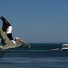 Pelican,Rottnest Island, Australia - January 2008