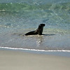 Sea Lion, Kangaroo Island, Australia - January 2008
