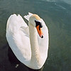 Swan, River Cam, Cambridgeshire - May 2005