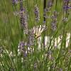 butterfly on lavendar, Croatia - July 2009