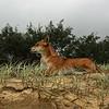 Wild Dingo, Fraser Island, Australia - January 2008