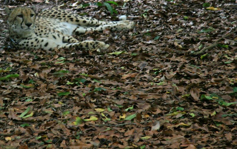 Cheetah, zoo, Australia - January 2008