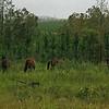 Wild horses, Fraser Island, Australia - January 2008