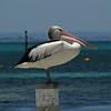 Pelican, Rottnest Island, Australia - January 2008