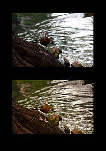 Top: Original Bottom: Edited in CS5 PS Extended  It was a dark and rainy day. What sunlight there was glared off the water causing a back-light effect with the duck. The corrections lost the stormy tone. So warmth was added to enhance the stormy feel. I think the biggest accomplishment in the editing was the recovery of detail in the overexposed water.