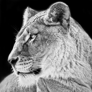 Lioness (Angle 2)