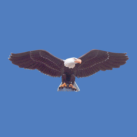 "Eagle, 10'6"" wingspan  #7070"