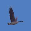 Goose #7229