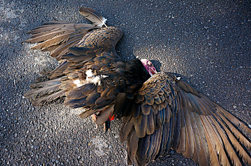 Dead vulture in Eugene, Oregon. Found on Good Friday