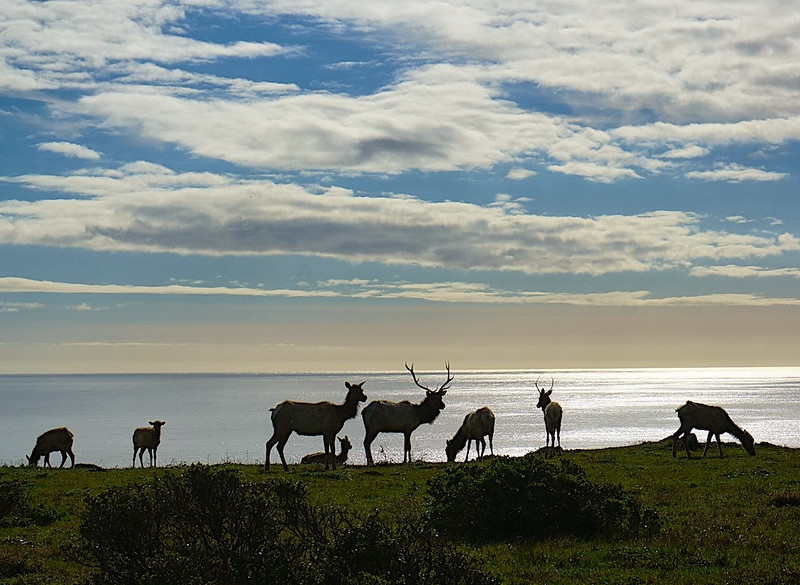 Point Reyes Elk