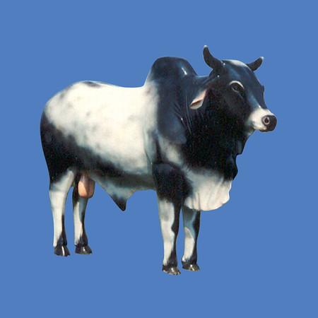 Brahma Bull #7035