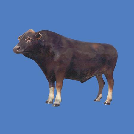 Brown Swiss Bull #7164