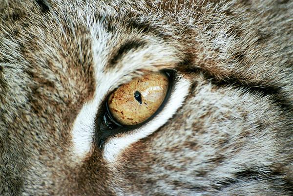 Nell'occhio della Lince
