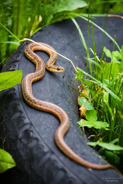 Brown Garter Snake 1