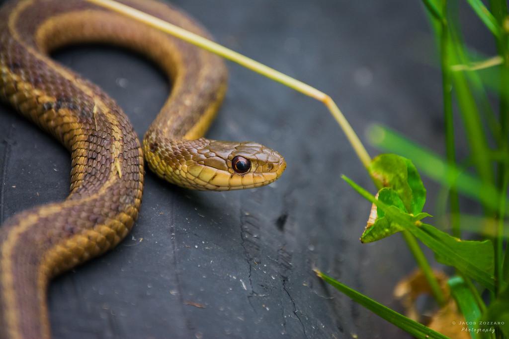 Brown Garter Snake 2